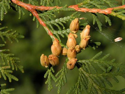 Mature-Cone-of--White-Cedar