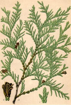 Plant-illustration-of-White-Cedar
