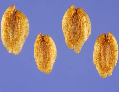 Seeds-of--White-Cedar