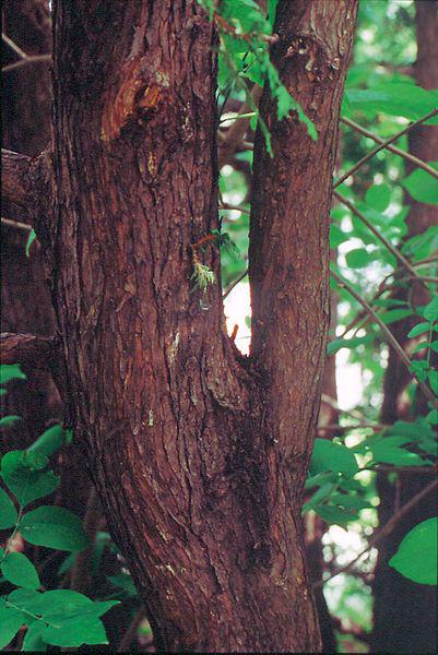 Trunk-of--White-Cedar