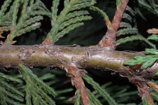 Twig-after-fallen-needles-of--White-Cedar