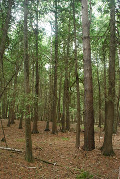 White-Cedar--Plant-growing-wild