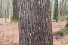 Bark-of--White-Cedar