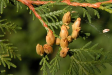 Mature-Cone-of--White-Cedar