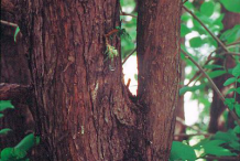 Trunk-of--White-Cedar