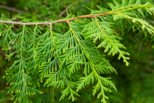 Leaves-of--White-Cedar