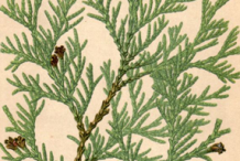 Plant-illustration-of-White-Cedar