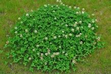 White-clover-plant