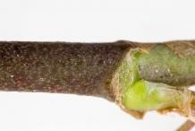 White-clover-stem