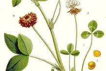Illustration-of-White-clover