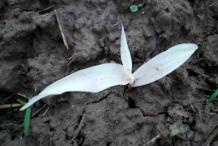 White-Corn-plant-sapling