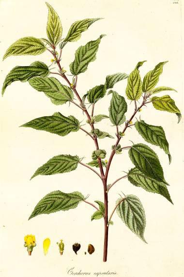 Plant-Illustration-of-White-Jute