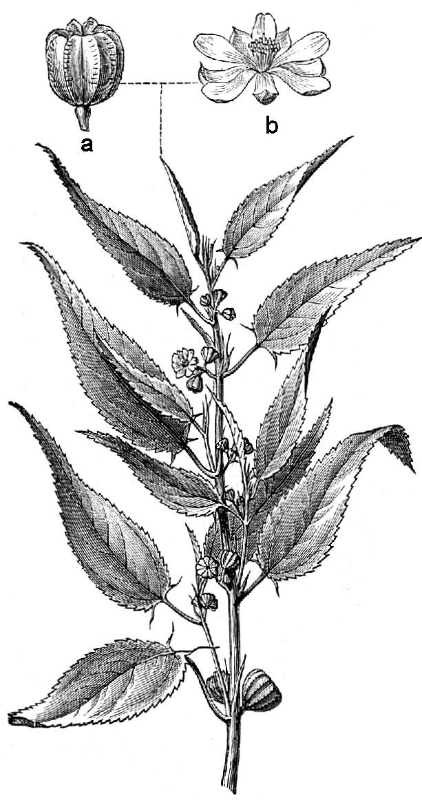 Sketch-of-White-Jute