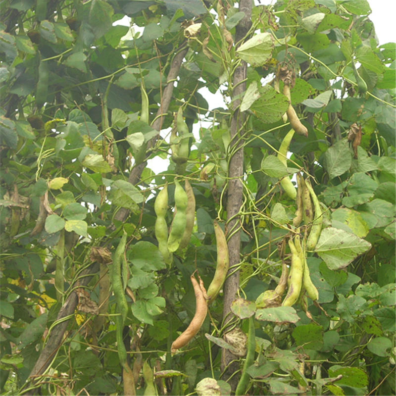 White-Kidney-Bean-plant