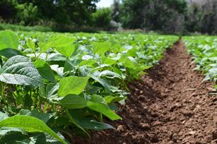 White-Kidney-Beans-Farming