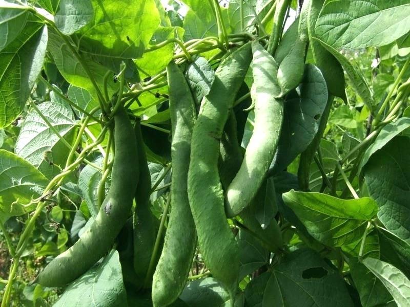 White-Kidney-Beans-on-the-plant