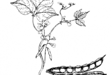 Sketch-of-White-Kidney-Beans