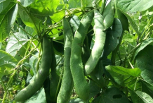 White-Kidney-Beans-on-the-plant