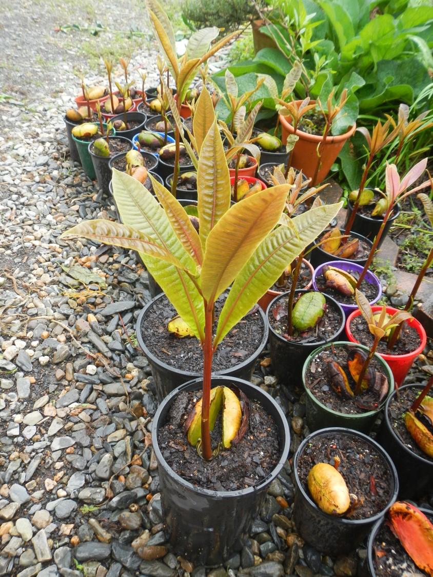 Mango-seedlings