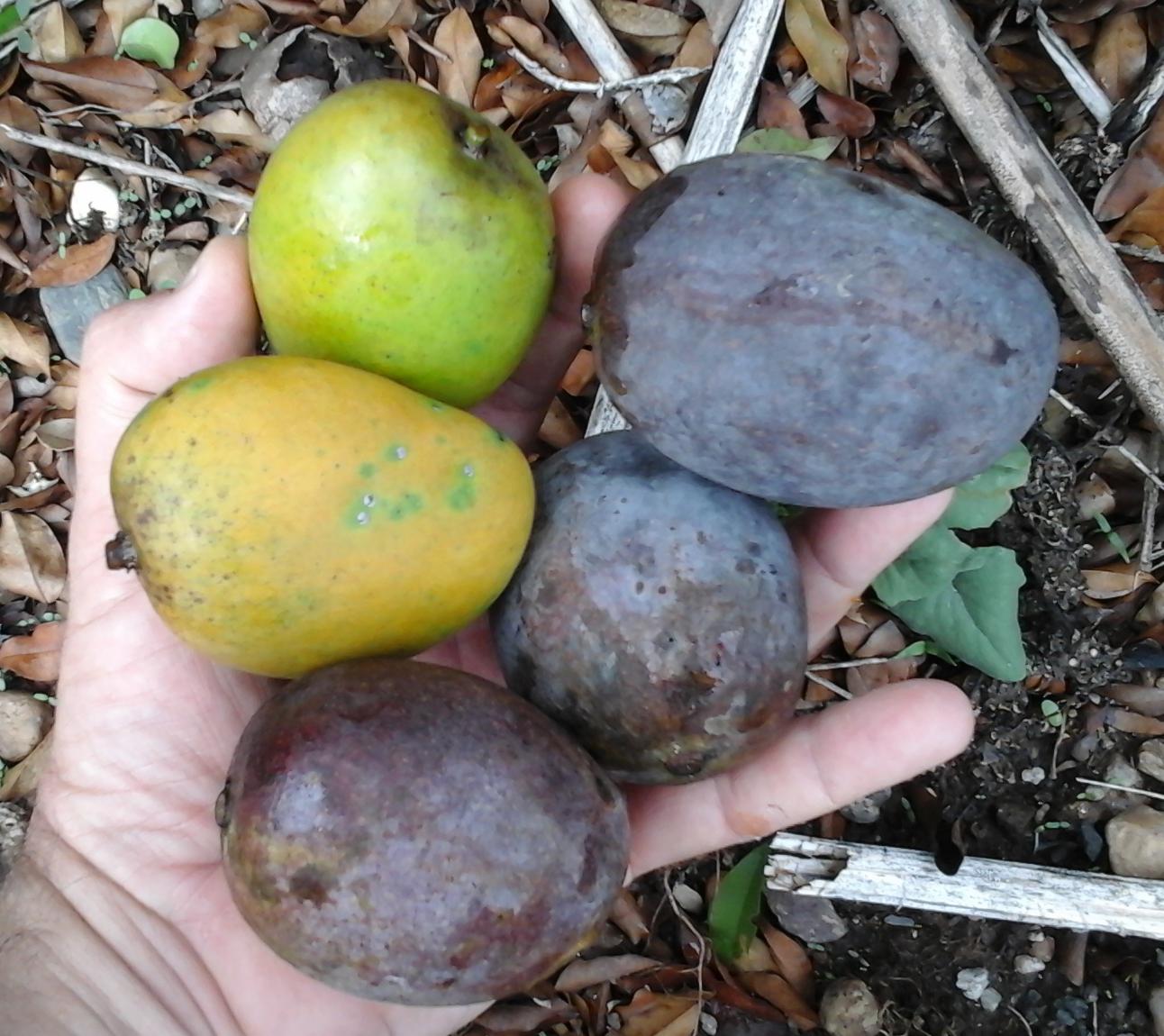 White-Mango-collection