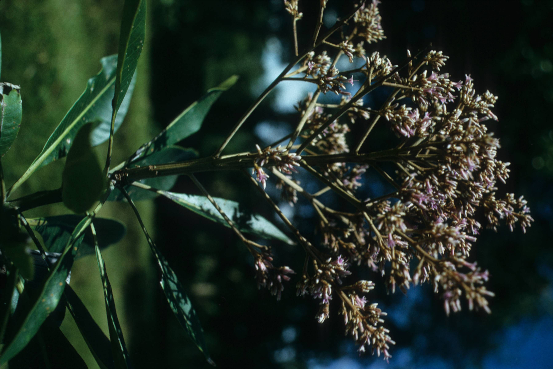 White-Mango-flower