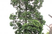 White-Mango-tree