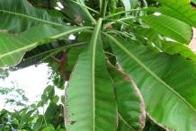 White-Mango-leaves