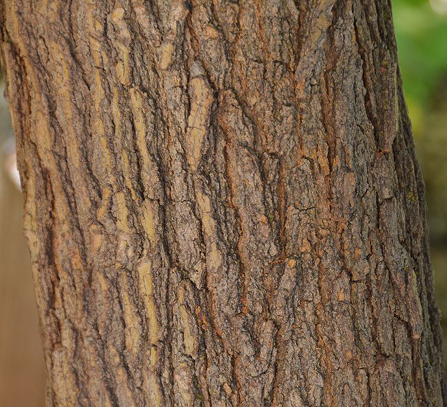 Bark-of-White-mulberry-plant