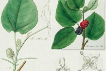 Plant-Illustration-of-White-mulberry