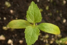 Small-White-mulberry-Plant