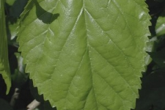 Leaves-of-White-mulberry
