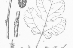Sketch-of-White-mulberry