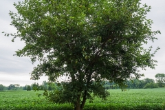 White-mulberry-Plant