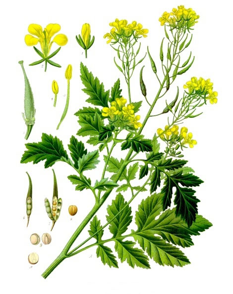 Plant-Illustration-of-White-Mustard
