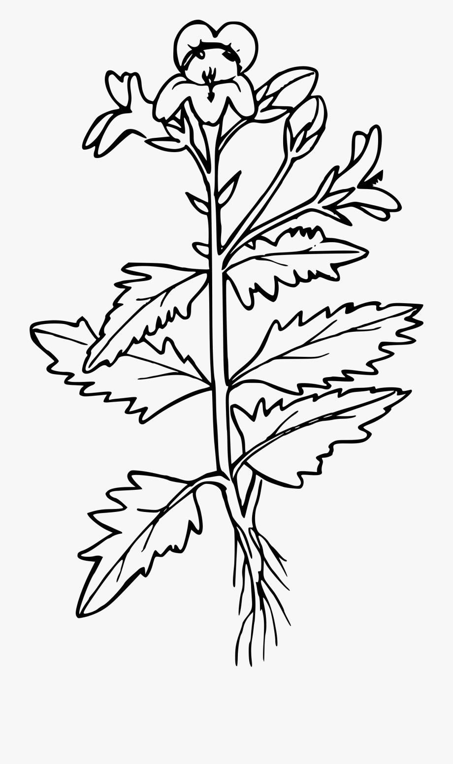 Sketch-of-White-Mustard