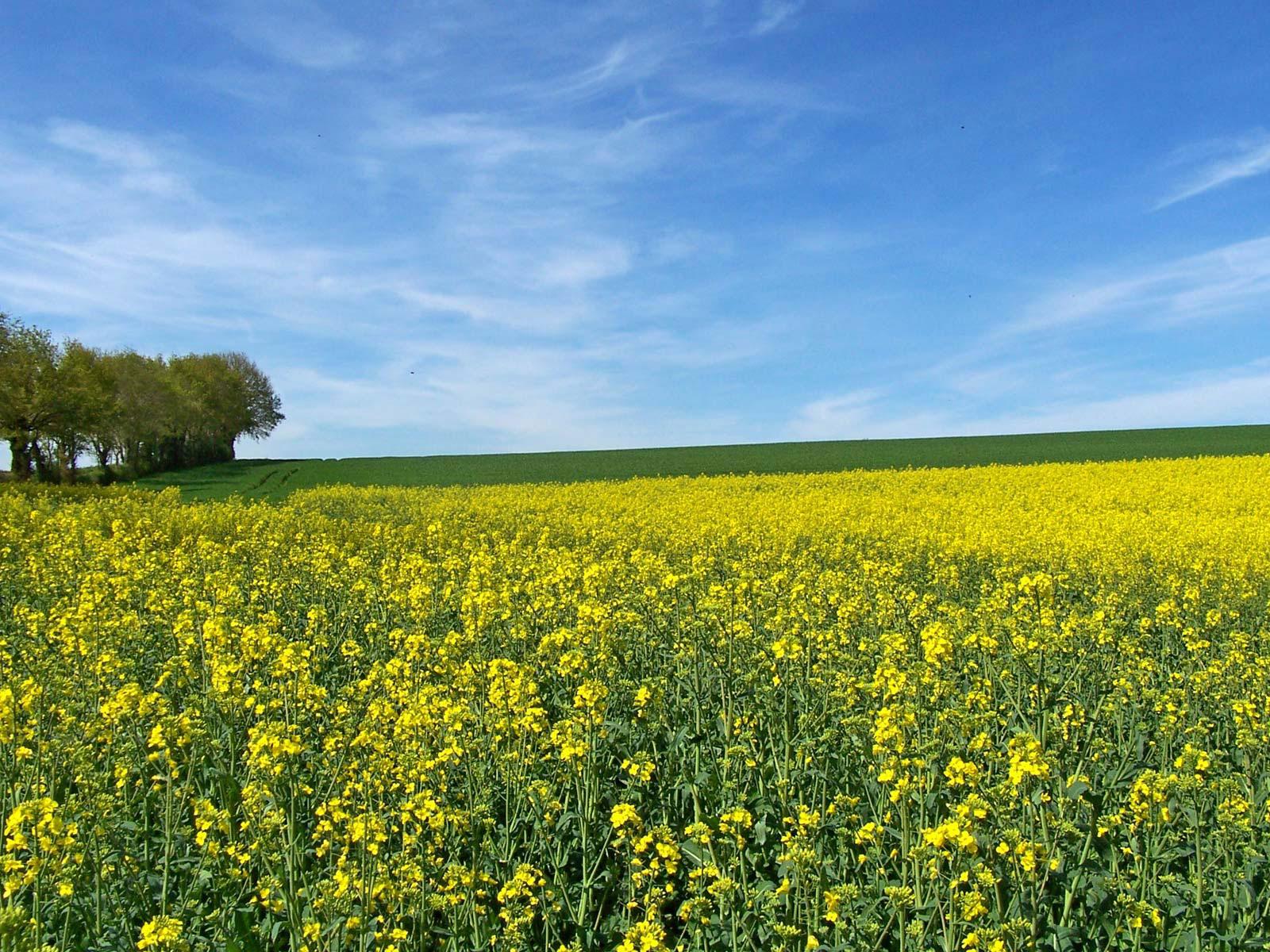 White-Mustard-farming