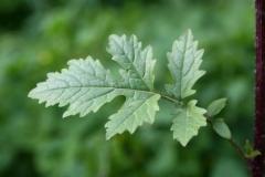 Leaves-of-White-Mustard