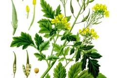 Plant-Illustration-of-White-Mustard