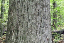 Bark-of-White-oak