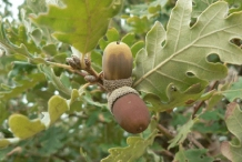 Mature-Fruits-of-White-oak