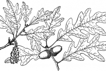 Sketch-of-White-oak