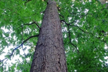 Trunk-of-White-oak