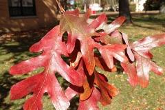 Autumn-foliage-of-White-oak