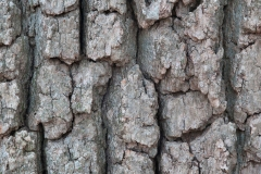 Closer-view-of-bark-of-White-oak