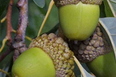 Immature-fruits-of-white-Oak
