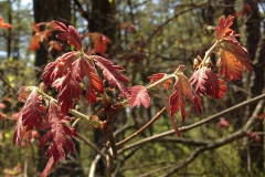 New-foliage-of-White-oak