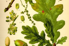 Plant-Illustration-of-White-oak