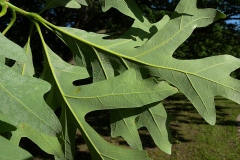 Ventral-view-of-leaf-of-White-oak
