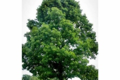 White-oak-Tree