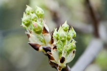 White-pear-flower-buds